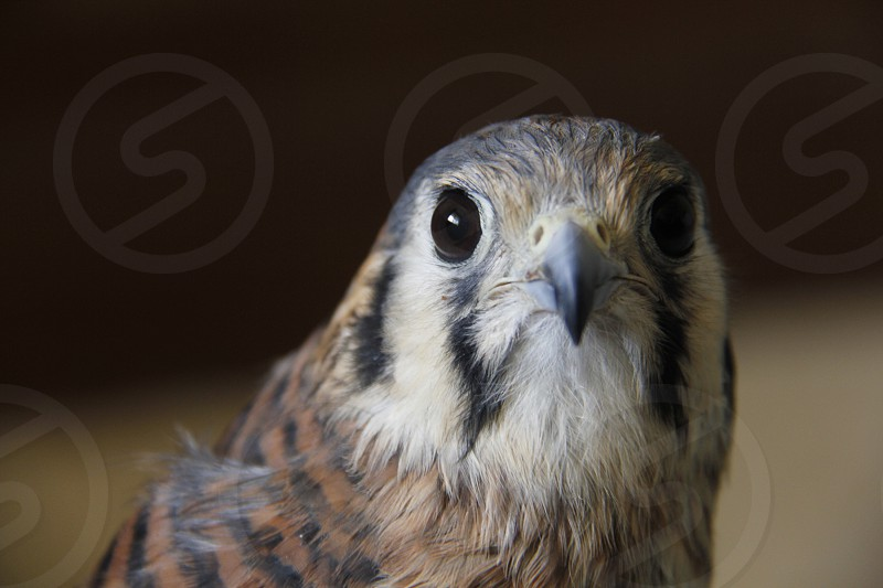 This majestic falcon is among the smallest species of Falcons   Such an amazing bird photo