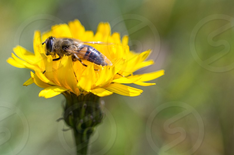 bee perching on yellwo flower in tilt shift lens photo