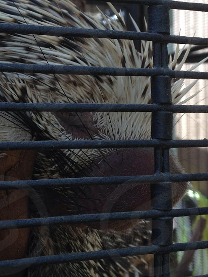 white and black porcupine in steel cage photo