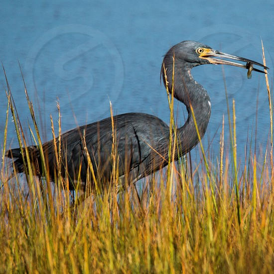black long beaked bird with a fish on its beak standing on a green grass photo