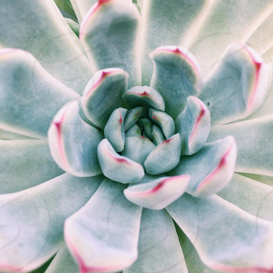 closeup photography of green and pink succulent plant photo