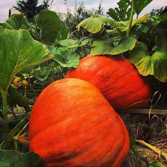 Pumpkins in garden photo