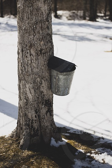 A bucket collecting maple sap to be turned into syrup. photo