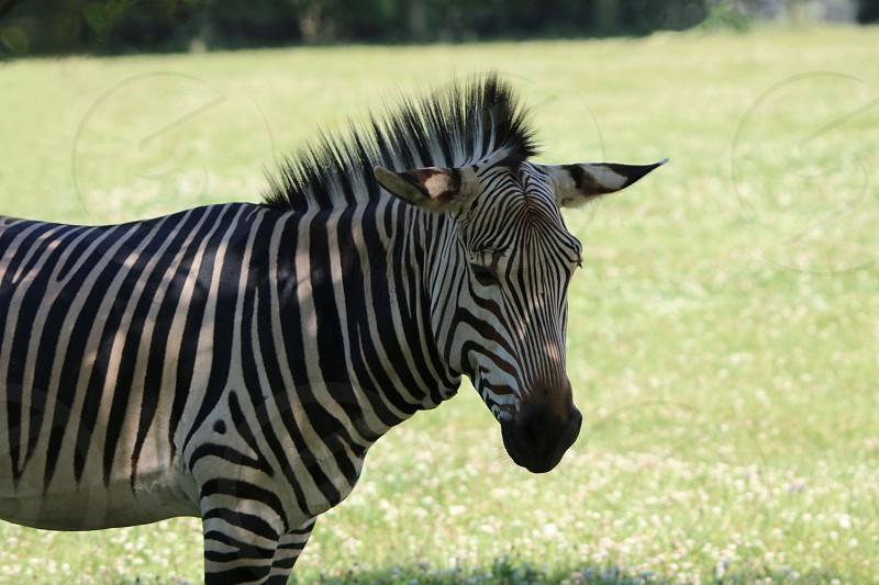 zebra macro photography photo