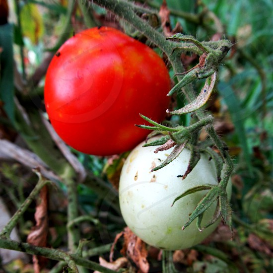 Pair of tomatoes on the vine red and green photo