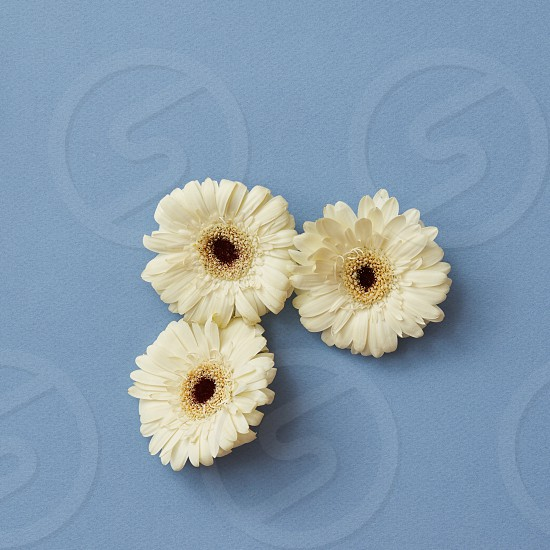 A minimalistic composition of three white gerberas on a blue background. The figure from the game Tetris. Flat lay. photo