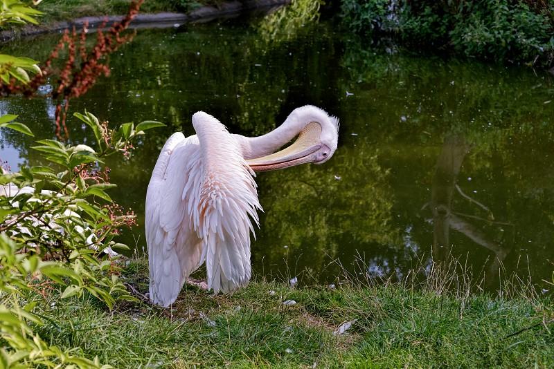 Great White Pelican (Pelecanus onocrotalus) photo