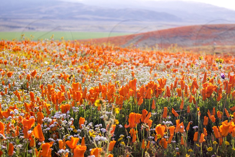 Poppy fields poppies flowers floral orange field prairie spring April May flower wow amazing perfect sunny heaven scenic landscape spectacular beautiful natural beauty sacred wildflowers California  photo