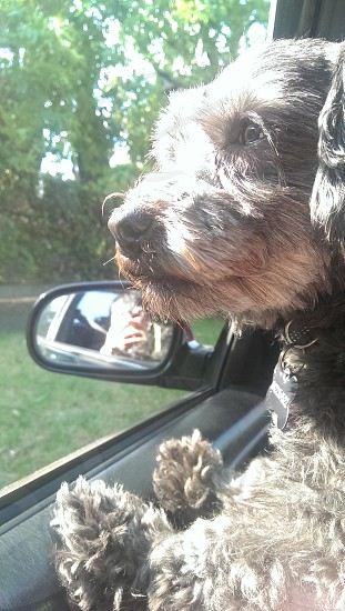 dog in the car watching outside photo