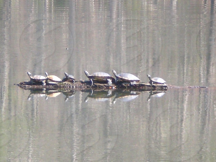 turtles on a log photo