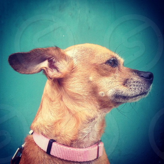 Chihuahua Lacy waiting for her green light crosswalk signal  photo