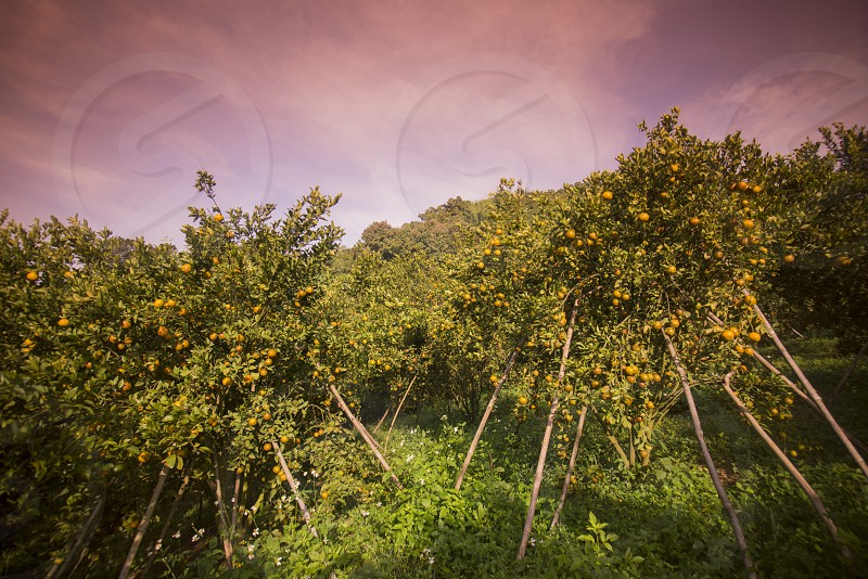 amandarine or orange plantation near the city of Chiang Rai in North Thailand. photo