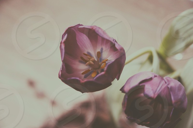 purple tulip plant photo