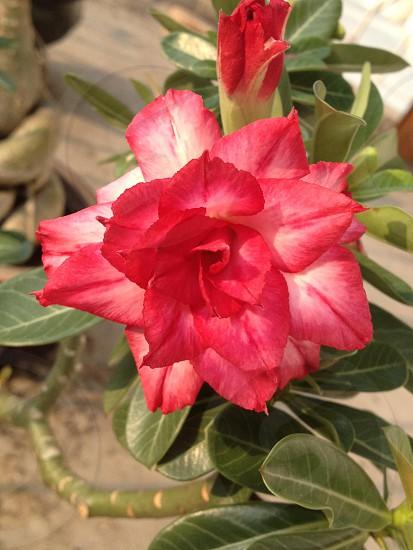 Rose adenium  photo