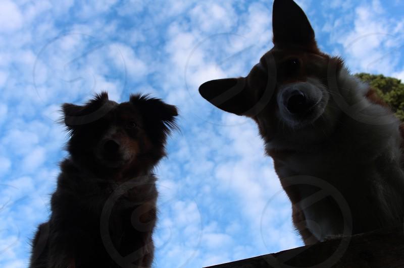 corgi and a retriever looking down under a cloudy sky photo