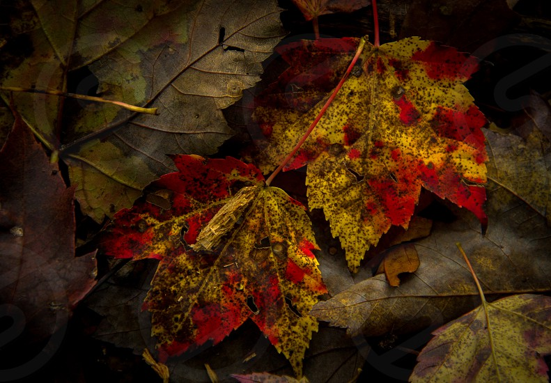 Maple leaves Cleveland Metroparks North Chagrin Reservation Willoughby Hills Ohio USA photo