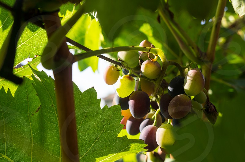 green and purple grapes photo