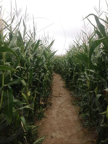 The corn maze photo