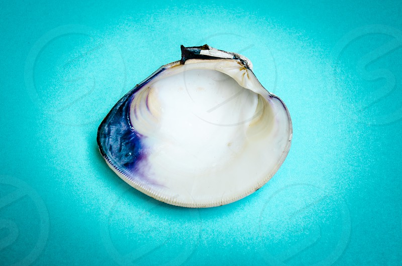 clam shell half open aqua blue background purple still-life sea life close-up sea food photo
