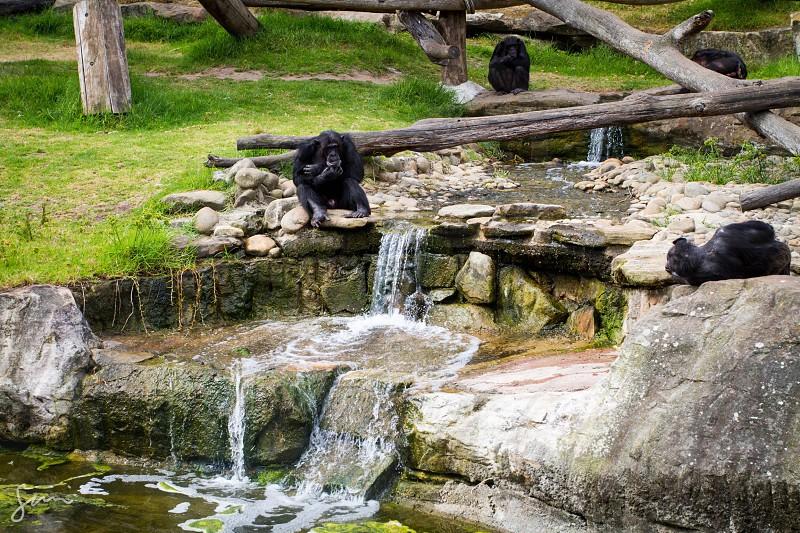 Gorillas at the Taronga Zoo in Sydney Australia. Canon 7D photo