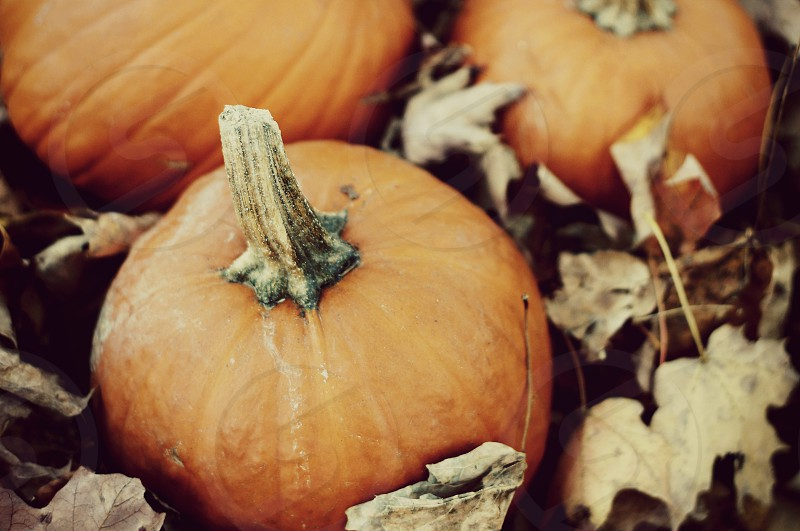 Pumpkins in autumn leaves photo