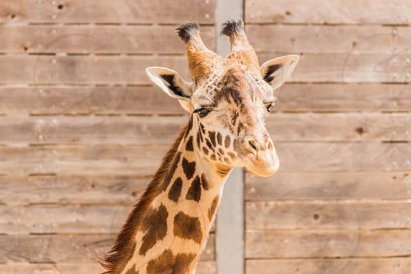Giraffe at the zoo. photo