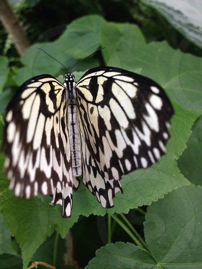 paperkite butterfly perched on green leaf photo