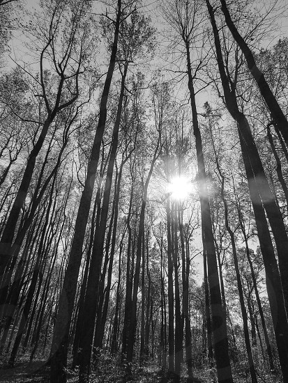 Forest black and white sun light nature winter trees fog photo