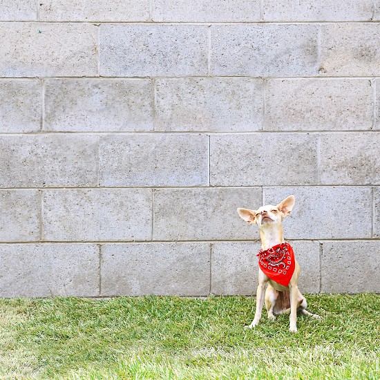 Dog chihuahua bandana funny pets pet lifestyle  photo