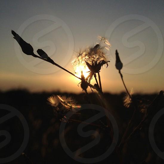 dandelion seed  photo