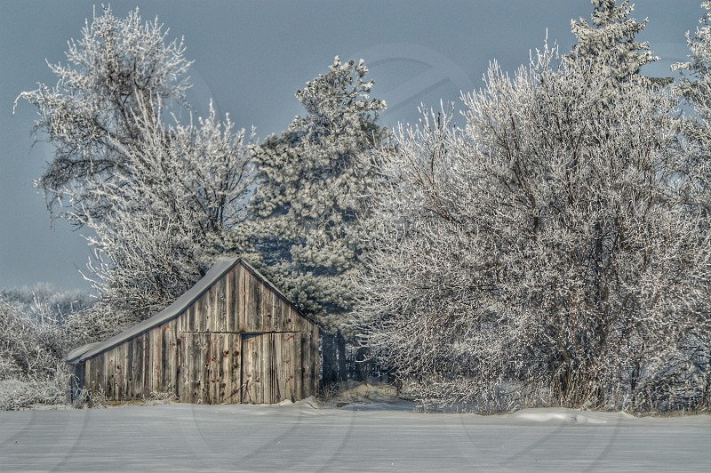 Snow dilapidated building winter white cold barn wooden barn HDR effect faded pine trees December  photo