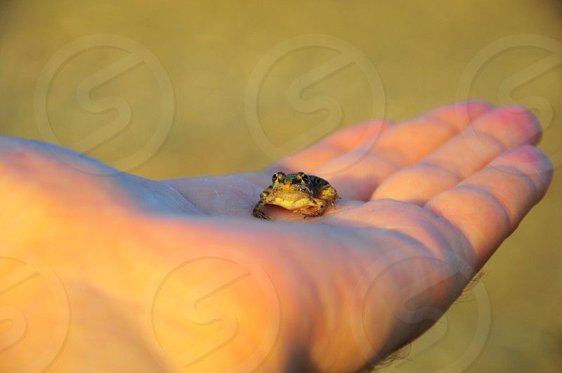 green small frog on palm photo