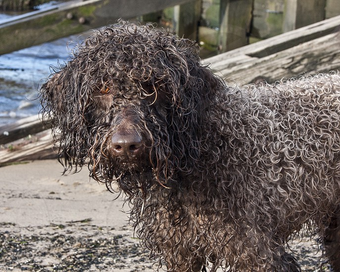 Close-up of funny curly-haired wet dog on beach photo