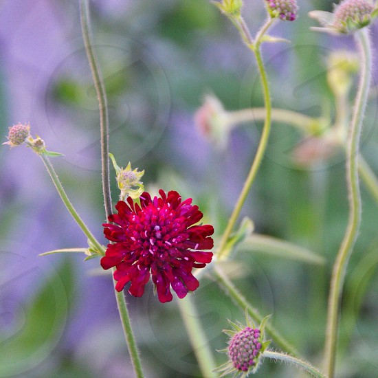 red petalled flower  photo