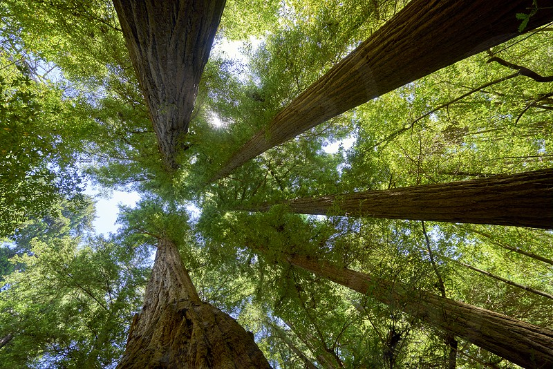 five giant redwood trees converging against a blue summer sky photo