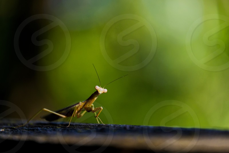 Praying mantis close up with green background. photo