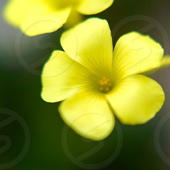 wild flower yellow green petals pansy flora single closeup nature outdoors photo