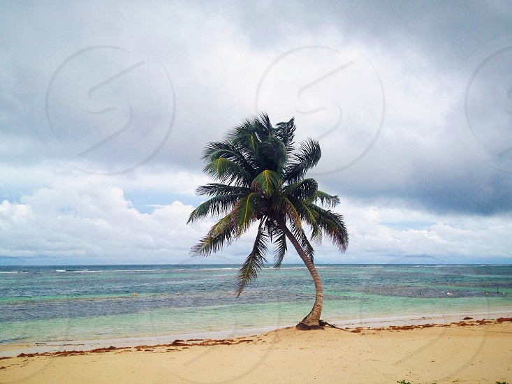 single palm tree on beach photo