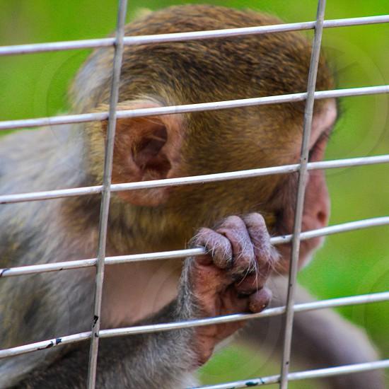 Caged monkey photo