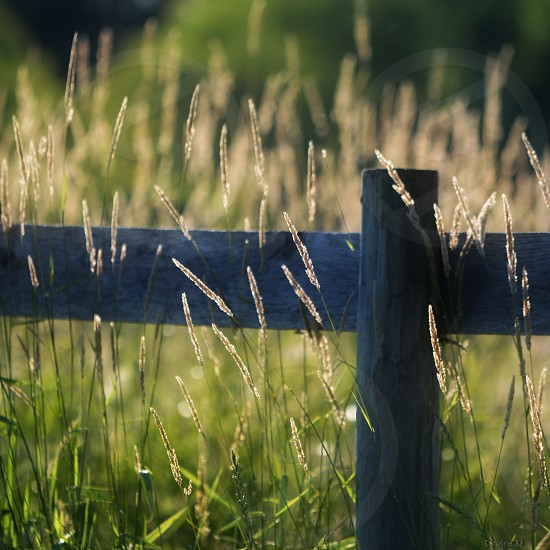 Summertime grasses growing along a dark wooden fence photo