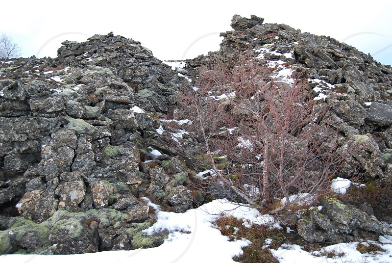 A cold red birch tree in the Icelandic winter landscape. photo
