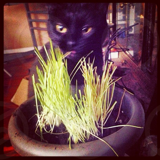 Black cat eating cat grass photo