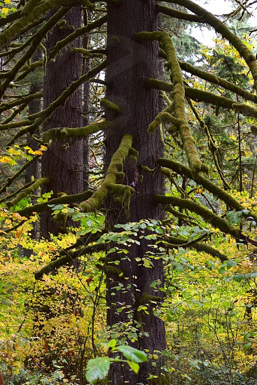 forest trees Silver Falls State Park Oregon pacific northwest mossy leafy photo