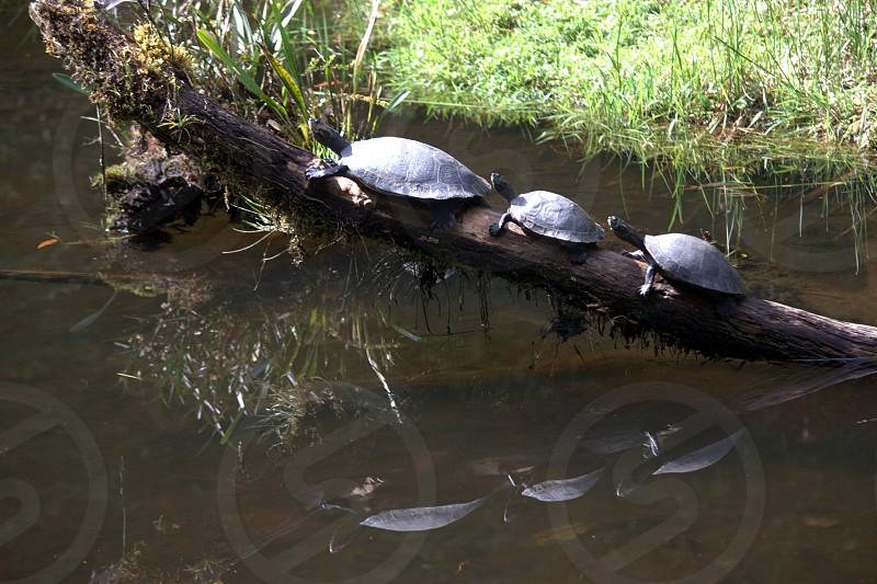 3 turtles on tree log photo