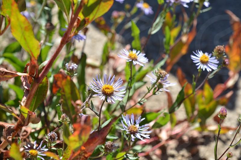 Wild flowers daisies nature  photo