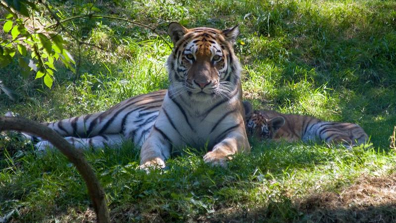Bengal Tiger (Panthera tigris tigris) laying in the shade with her cub photo
