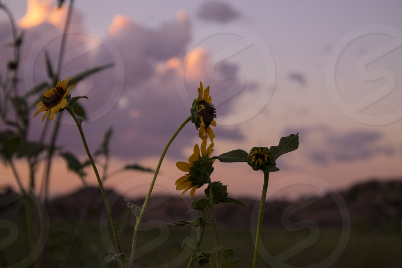flower spring sunflower daisy clouds sunset arizona budding blooming yellow pink orange photo