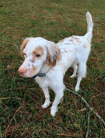 Dog english setter standing outside white dog photo