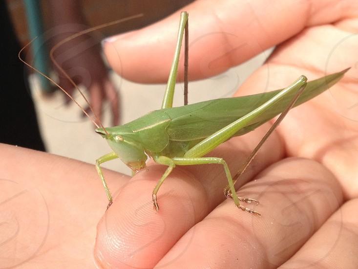 Beautiful Grasshopper photo