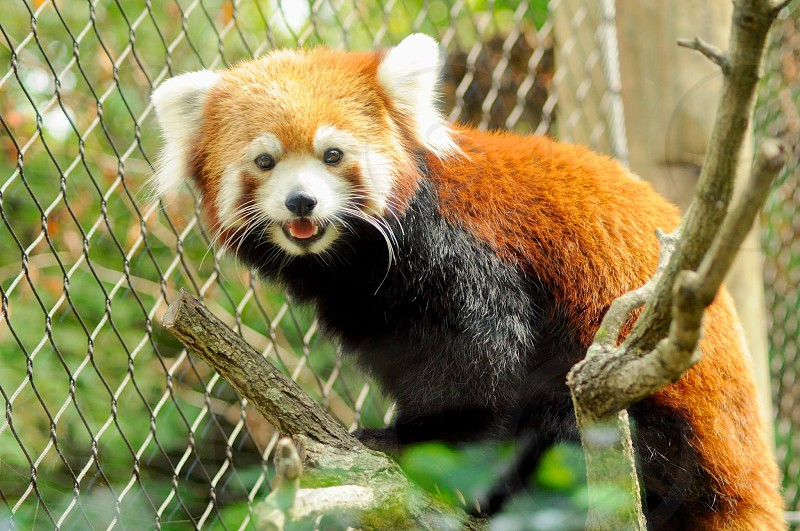 Xia the happy red panda. Photographed at the Pittsburgh zoo. Nature animals wildlife.  photo